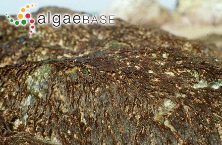 Cladophora pectinella Grunow
