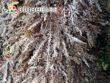 Conferva crispata var. brachyclados Kützing
