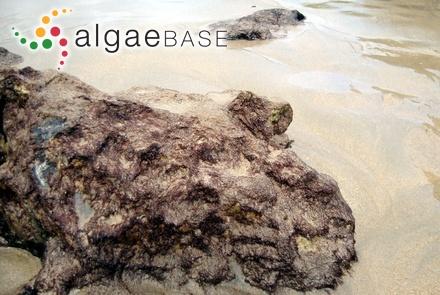 Aglaozonia canariensis Sauvageau