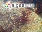 Polysiphonia nigra (Hudson) Batters