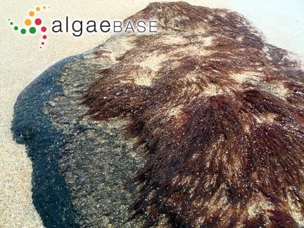 Fucus abies-marinus S.G.Gmelin