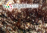 Polysiphonia tripinnata J.Agardh