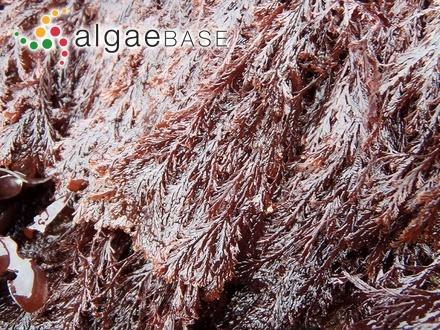 Caulerpa pusilla (Kützing) J.Agardh