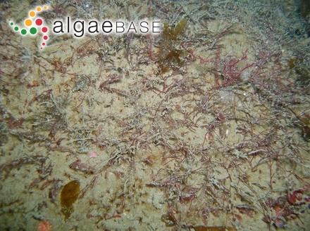 Cladophora thwaitesii Harvey