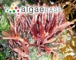 Chondria furcellata (Turner) C.Agardh