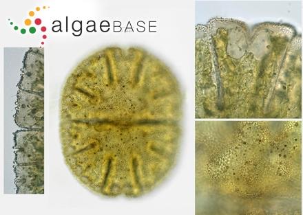 Membranoptera denticulata Kuntze