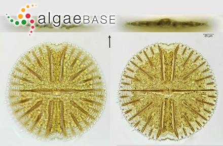 Rhodomela subfusca f. tenuior (C.Agardh) Svedelius