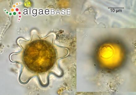 Gigartina subfusca var. tenuior (C.Agardh) Lyngbye