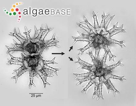 Rhodomela confervoides f. virgata (Kjellman) Rosenvinge