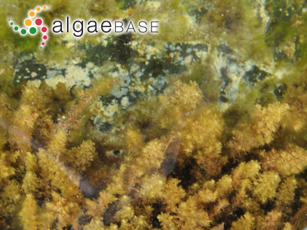 Audouinella plumosa (K.M.Drew) Garbary