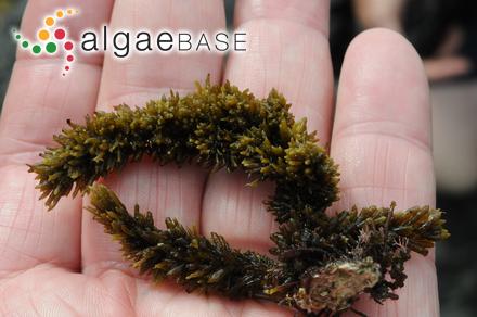 Audouinella polyspora (Howe) Garbary