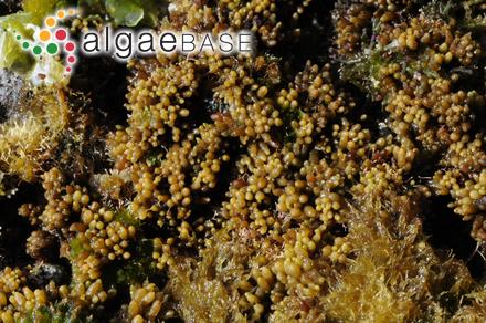 Gymnogongrus pusillus (Montagne) Feldmann & Mayozer