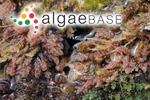 Asparagopsis taxiformis (Delile) Trevisan