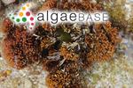 Galaxaura rugosa (J.Ellis & Solander) J.V.Lamouroux
