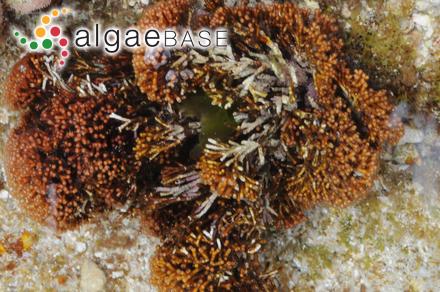 Audouinella amphiroae (K.M.Drew) Garbary