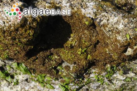Chromastrum arcuatum (Drew) Papenfuss