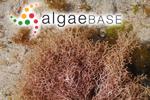 Liagora orientalis J.Agardh