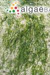 Ulva compressa Linnaeus