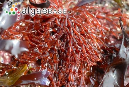 Leathesia crassipilosa Takamatsu