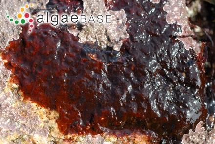 Leathesia sadoensis Inagaki
