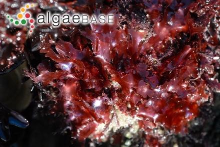 Leathesia saxicola Takamatsu