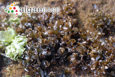 Sphacelaria iwagaskensis Noda