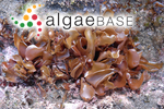 Gracilaria incurvata Okamura
