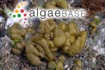Colpomenia sinuosa (Mertens ex Roth) Derbès & Solier