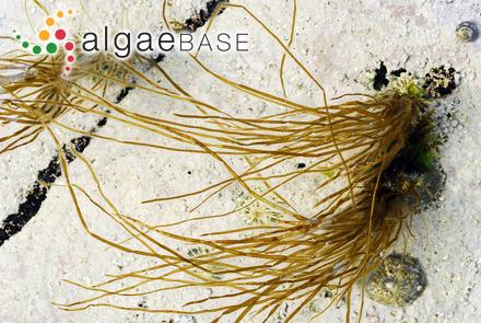 Arthrothamnus bifidus (S.G.Gmelin) J.Agardh