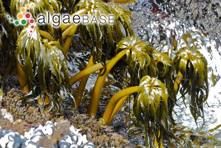 Laminaria sachalinensis (Miyabe) Miyabe