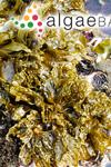 Saccharina sessilis (C.Agardh) Kuntze
