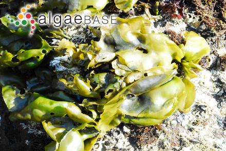 Dictyopteris undulata Holmes