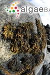Ascophyllum canaliculatum (Linnaeus) Kuntze