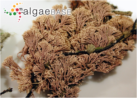 Cryptarachne polyglandulosa (Okamura) Segawa