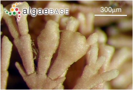 Halichrysis japonica Segawa