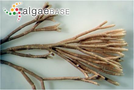 Anotrichium yagii (Okamura) Baldock