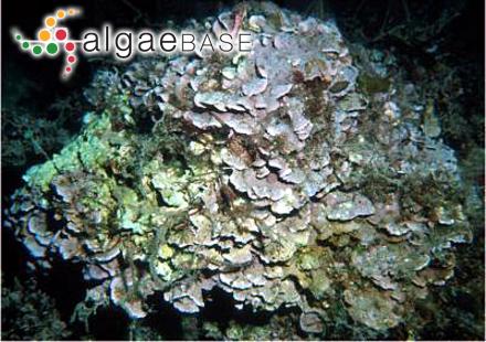 Heterosiphonia subsecundata (Suhr) Falkenberg