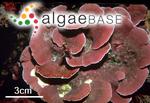 Lithophyllum stictiforme (Areschoug) Hauck