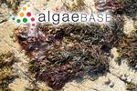 Halymenia palmata (Linnaeus) C.Agardh