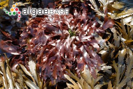 Sphacelaria divaricata Montagne