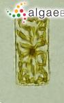 Meuniera membranacea (Cleve) P.C.Silva