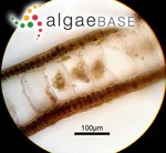 Pachydictyon coriaceum (Holmes) Okamura