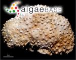 Goniolithon brassica-florida (Harvey) Foslie