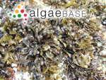 Gigartina heterocarpa (Postels & Ruprecht) D.H.Kim