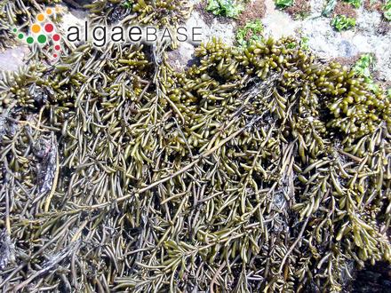 Callophyllis pinnata Setchell & Swezy