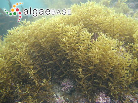 Callophyllis violacea J.Agardh