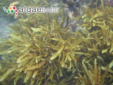 Callophyllis flabellulata Harvey