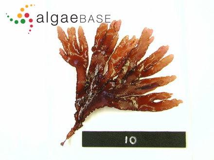 Gloiosiphonia verticillaris Farlow