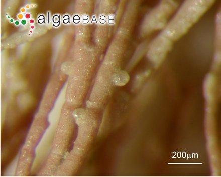 Lithothamnion phymatodeum Foslie