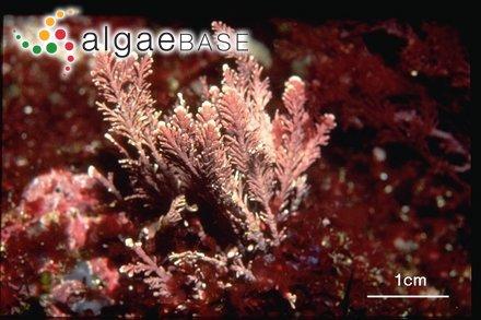 Mazzaella sanguinea (Setchell & N.L.Gardner) Hommersand